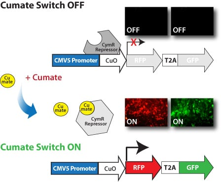 How the cumate operator switch works