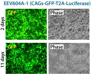 A constitutive EEV reporter based on CAGs-MCS delivers similar amounts of GFP expression after 2-days and 11-days
