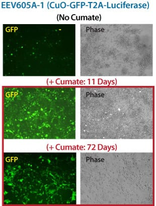 The inducible EEV reporter CuO-GFP-T2A-Luciferase delivers robust gene expression in vitro over 72 days