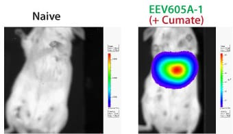 The inducible EEV reporter CuO-GFP-T2A-Luciferase delivers robust gene expression in vivo
