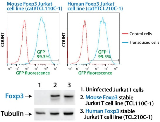 SBI's MSCV-Human Foxp3-EF1α-GFP-T2A-Puro Jurkat Cell Line shows strong Foxp3 overexpression