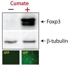 Robust, inducible expression of Foxp3 as shown by fluorescence of the co-expressed, inducible GFP marker and Western blot analysis