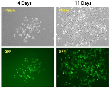 The PhiC31 Integrase System efficiently introduces a puromycin resistance marker and GFP to HEK293 cells