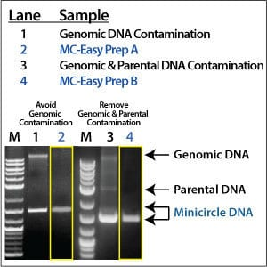 Clean and easy minicircle production with the MC-Easy Minicircle DNA Production Kit