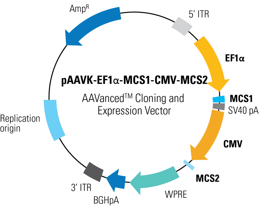 pAAVK-EF1α-MCS1-CMV-MCS2 AAVanced Cloning and Expression Vector