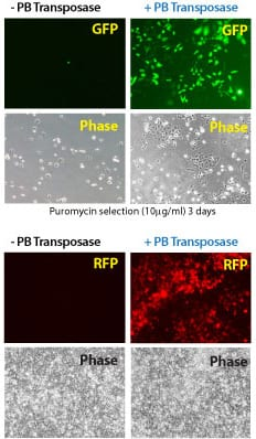 Efficient transgenesis with the Super PiggyBac Transposase and both single- and dual-promoter PiggyBac Vectors