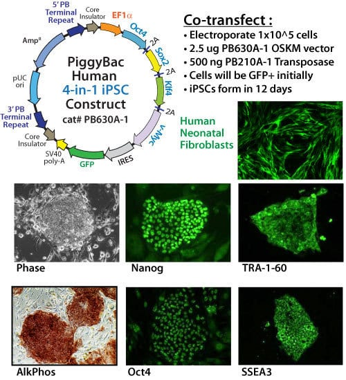 Easily reprogram human cells with the PiggyBac Transposon System