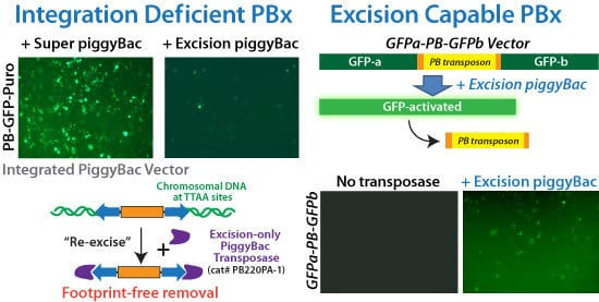SBI's Excision-only PiggyBac Transposase is integrase-deficient but excision capable for reversible transgenesis