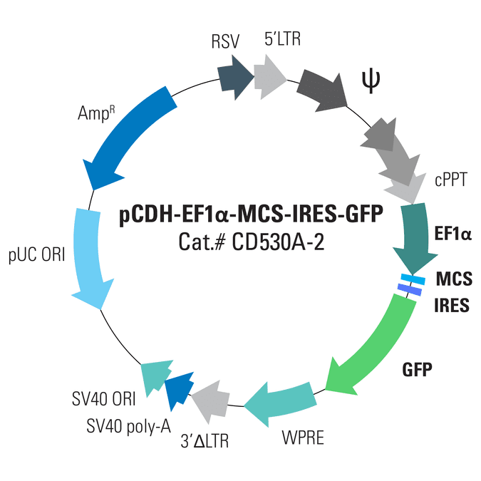 pCDH-EF1α-MCS-IRES-GFP Cloning and Expression Lentivector