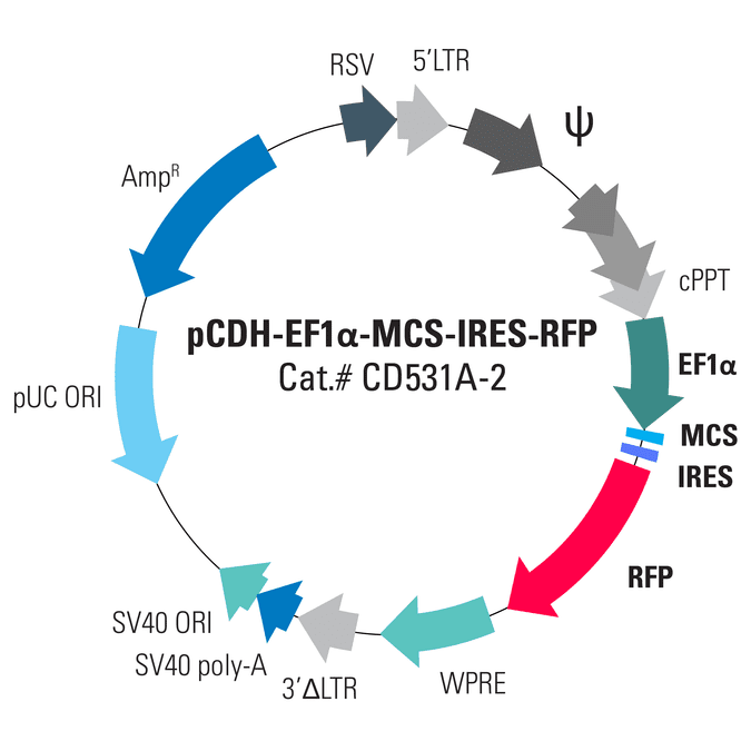 pCDH-EF1α-MCS-IRES-RFP Cloning and Expression Lentivector
