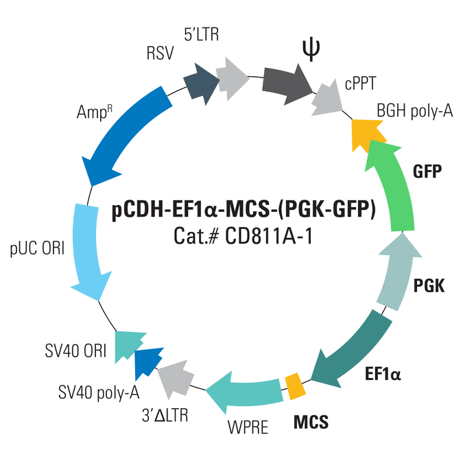 pCDH-EF1α-MCS-(PGK-GFP) Bidirectional Promoter Cloning and Expression Lentivector