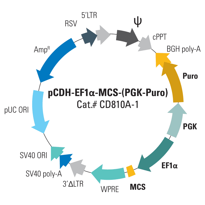 pCDH-EF1α-MCS-(PGK-Puro) Bidirectional Promoter Cloning and Expression Lentivector