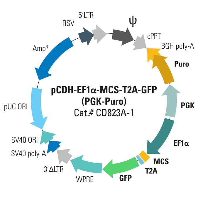 pCDH-EF1α-MCS-T2A-GFP (PGK-Puro) Bidirectional Promoter Cloning and Expression Lentivector