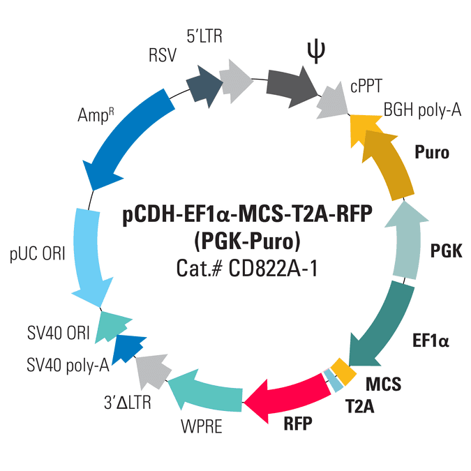pCDH-EF1α-MCS-T2A-RFP (PGK-Puro) Bidirectional Promoter Cloning and Expression Lentivector