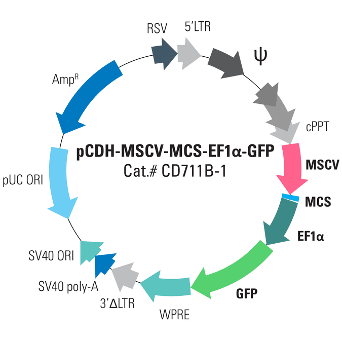 pCDH-MSCV-MCS-EF1α-GFP Cloning and Expression Lentivector