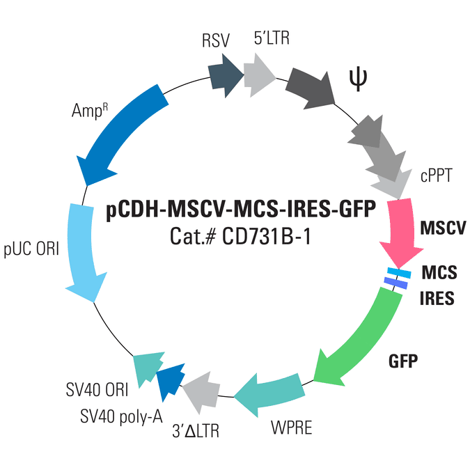 pCDH-MSCV-MCS-IRES-GFP Cloning and Expression Lentivector