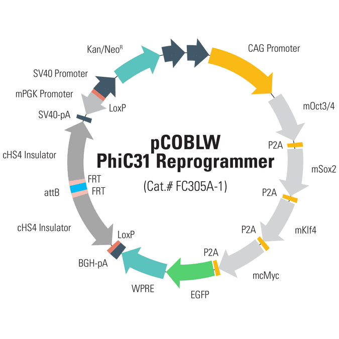 pCOBLW (CAG-Oct4-Sox2-Klf4-Myc-GFP-SV40-Neo) Mouse Reprogramming PhiC31 Donor Plasmid