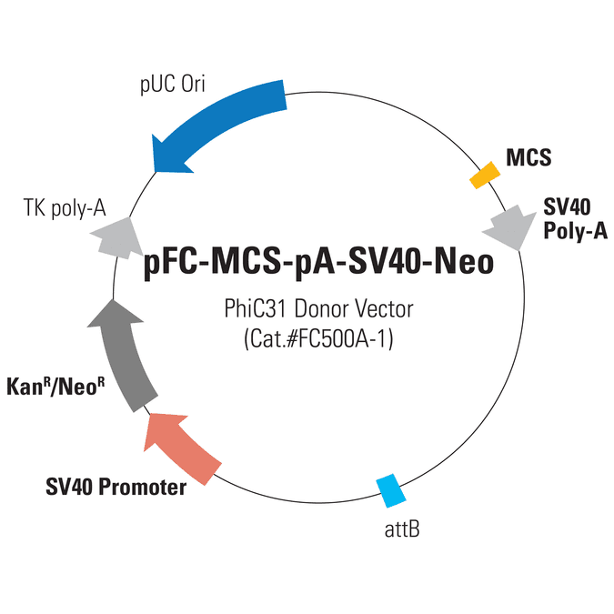 pFC-MCS-pA-SV40-Neo PhiC31 Donor Vector