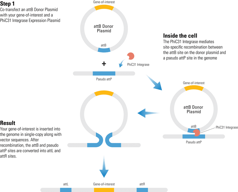 One-step transgene delivery with the PhiC31 Integrase System