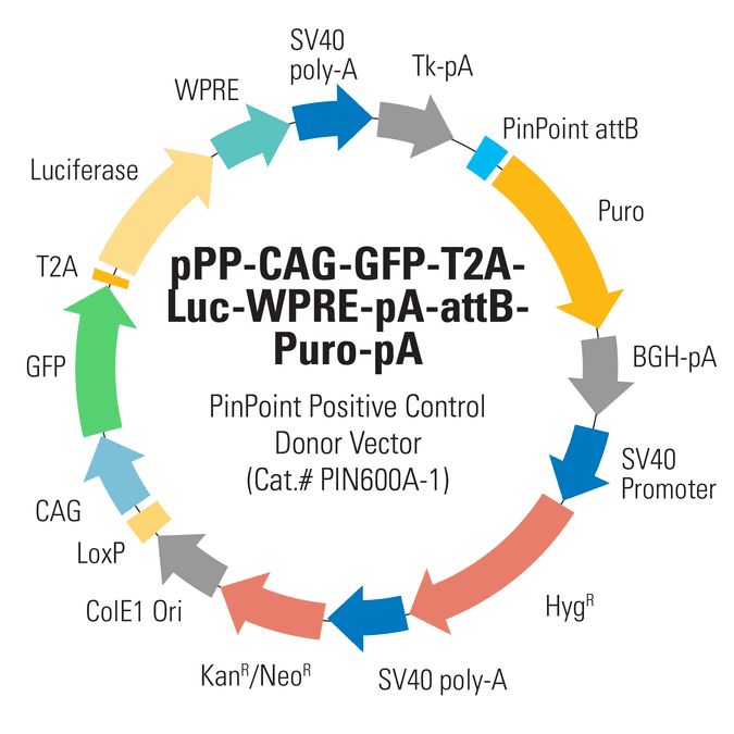 CAG-GFP-T2A-Luc PinPoint Positive Control Donor Vector