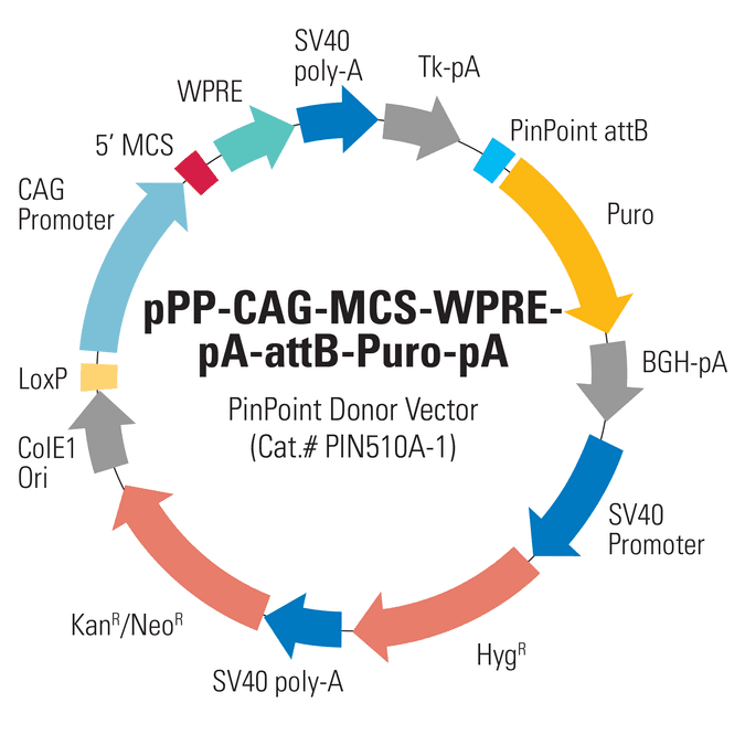 CAG PinPoint Donor Vector (pPP-CAG-MCS-WPRE-pA-attB-Puro-pA)