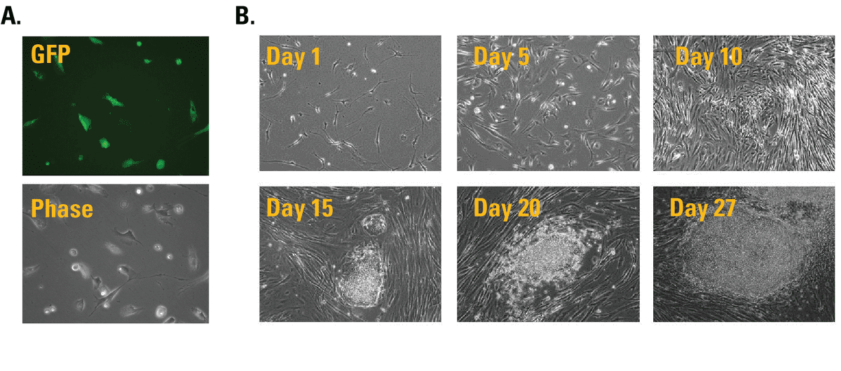 Visible iPSC colony formation can be observed in as little as two weeks after transfection and is complete in 25 days, with 70% more iPSC colonies generated compared to standard OSKM methods