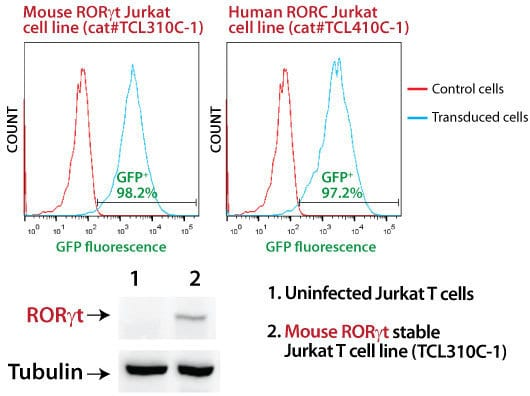 SBI's MSCV-Mouse RORγt-EF1α-GFP-T2A-Puro Jurkat Cell Line shows strong RORγt overexpression