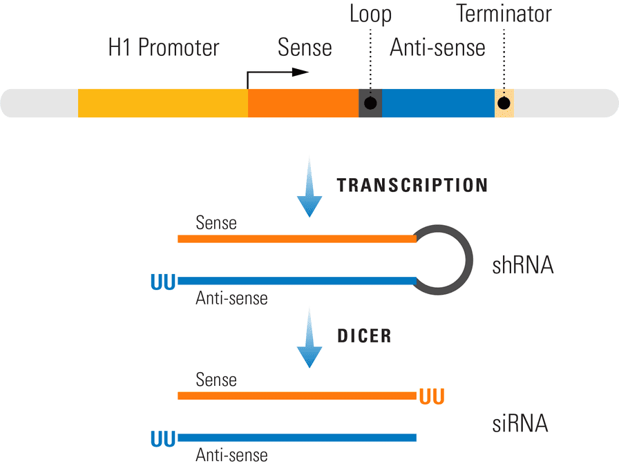 Generating siRNA from the pSIH1-H1-copGFP Cloning and Expression Lentivector