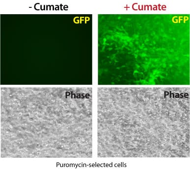 In the absence of cumate, the cumate-inducible PiggyBac Vector shows undetectable levels of expression