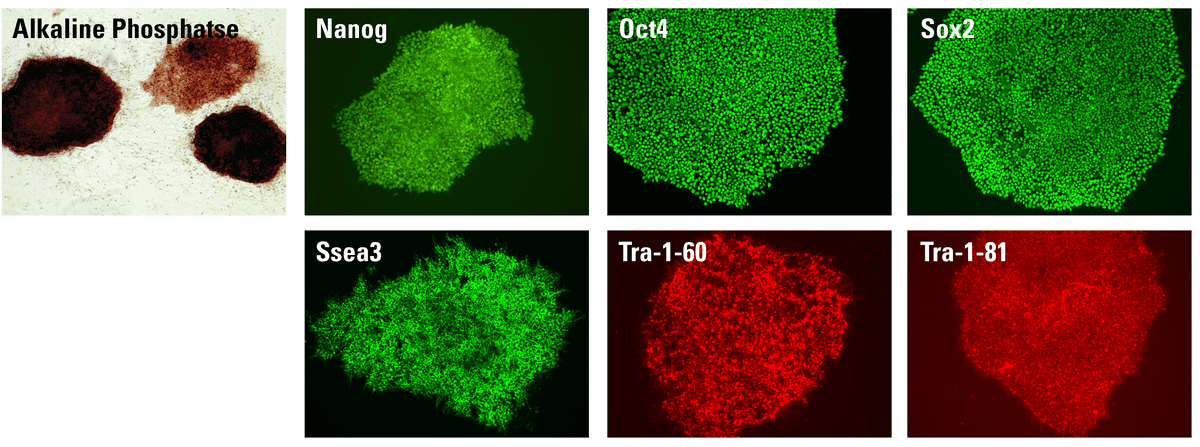 Staining with alkaline phosphatase and immunostaining show that robust and healthy iPSCs are generated by the Episomal iPSC Reprogramming System.