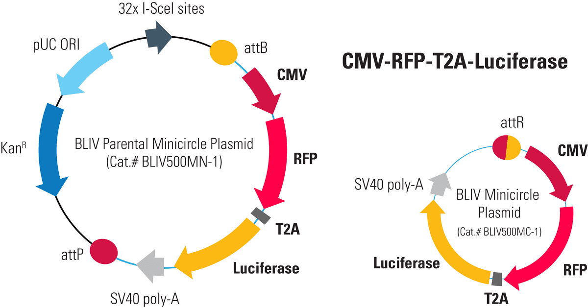 CMV-RFP-T2A-Luciferase Minicircle for <em>In Vivo</em> Imaging