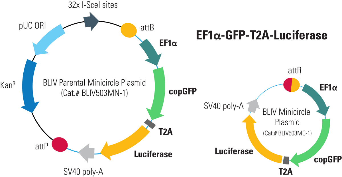 EF1α-GFP-T2A-Luciferase Minicircle for <em>In Vivo</em> Imaging