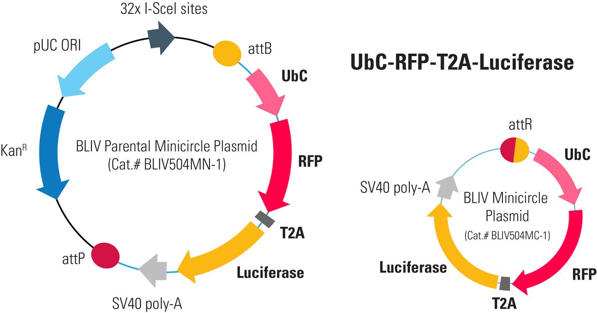 UbC-RFP-T2A-Luciferase Minicircle for In Vivo Imaging