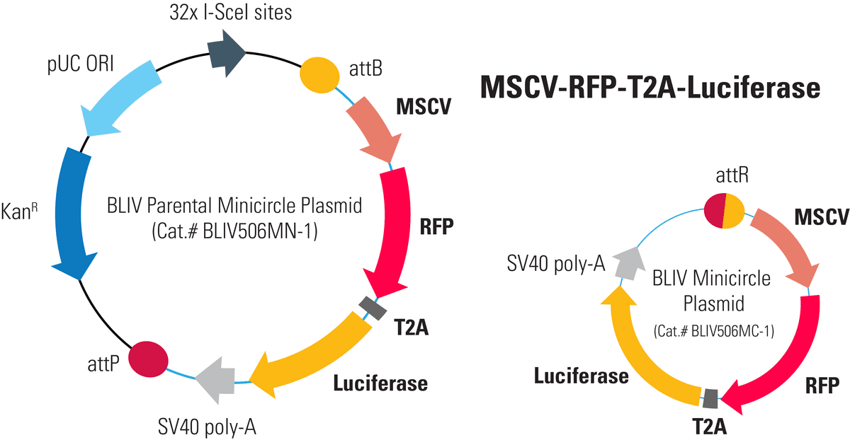 MSCV-RFP-T2A-Luciferase Minicircle for In Vivo Imaging