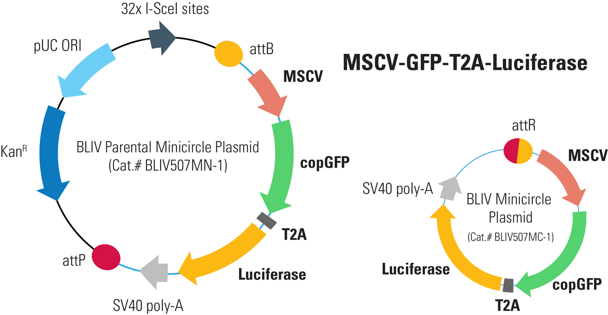 MSCV-GFP-T2A-Luciferase Minicircle for In Vivo Imaging