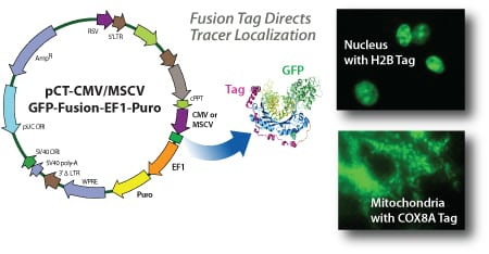 SBI's Cyto-Tracers fuse a specific protein tag to copGFP or RFP, directing the fluorescent protein to the desired subcellular location