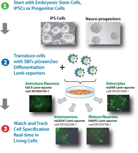 Simultaneously track multiple lineages from iPS and progenitor cells