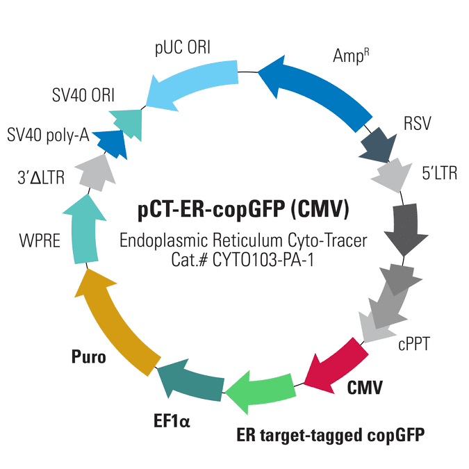 Study cellular processes with this Cyto-Tracer that labels the endoplasmic  reticulum (ER) with copGFP (GFP expressed by the CMV promoter)