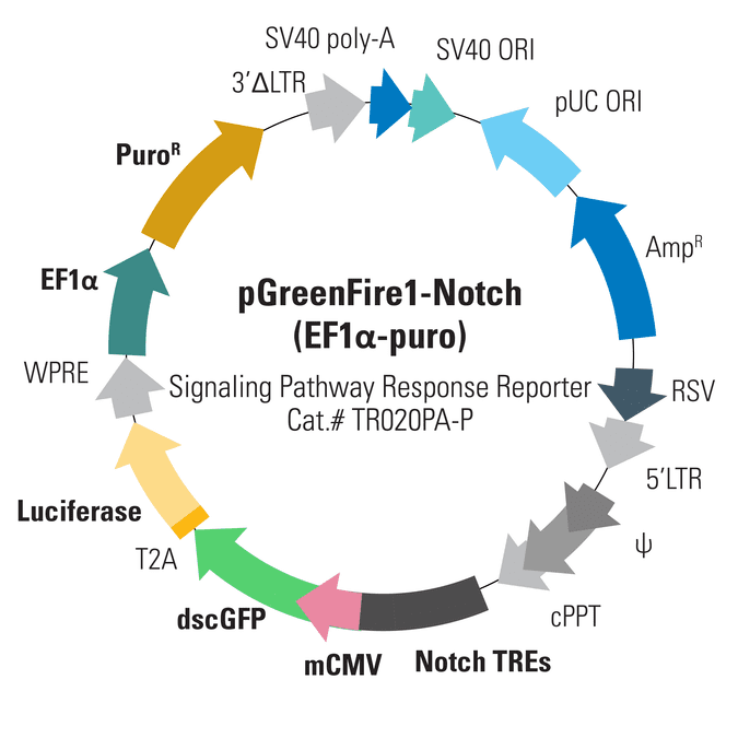 pGreenFire1-Notch (EF1α-puro) Lentivector