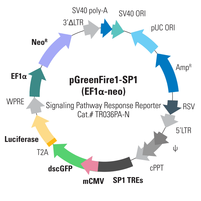 pGreenFire1-SP1 (EF1α-neo) Lentivector