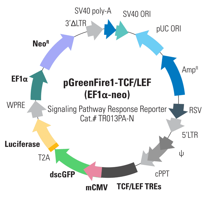 pGreenFire1-TCF/LEF (EF1α-neo) Lentivector