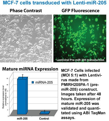 Lenti-miR-205 is expressed at high levels in MCF-7 cells