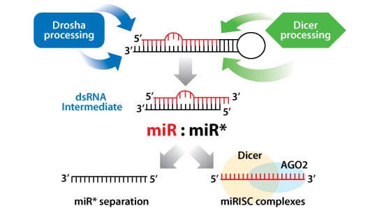 SBI's Human pre-miRNA Expression Lentivectors use the native miRNA processing machinery