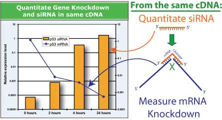Measure both siRNA and mRNA knockdown in a single QuantiMir cDNA sample