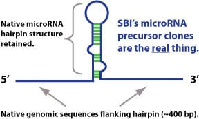 SBI's precursor miRNA lentivectors are designed for efficient expression and accurate processing into mature miRNAs, for native miR-like behavior