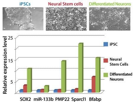 The Neural Lineage qPCR Profiler easily distinguishes iPSCs, neural stem cells, and differentiated neurons