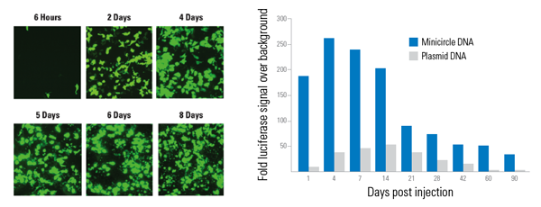 Transfection of 1 µg of Minicircle Possible with our Custom Minicircle Services