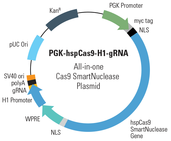 PGK-hspCas9-H1-gRNA All-in-one Cas9 SmartNuclease Plasmid (circular)