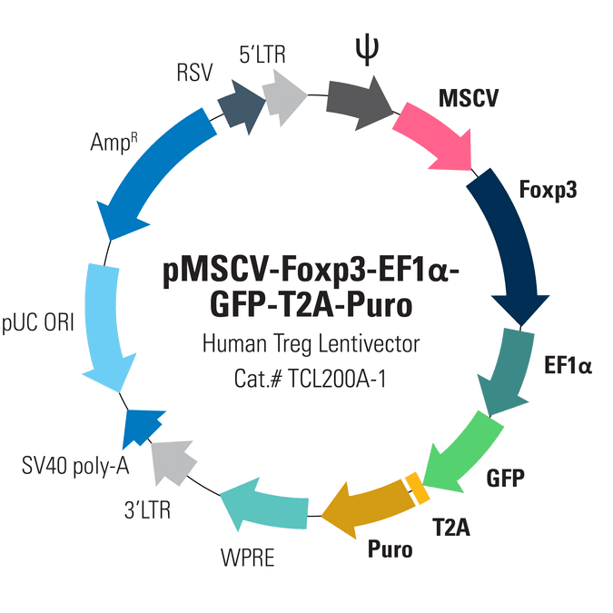 pMSCV-Human Foxp3-EF1α-GFP-T2A-Puro Lentivector for overexpression of Foxp3