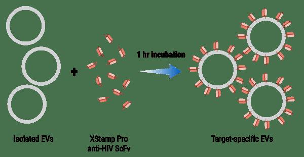 The XStamp Pro HIV Targeting EV Kit workflow